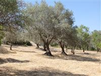 Well kept land with various mature olive trees